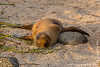 North Seymour island: Galapagos Sea Lion (Zalophus wollebacki) cub