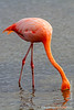 Greater Flamingo in Lagoon