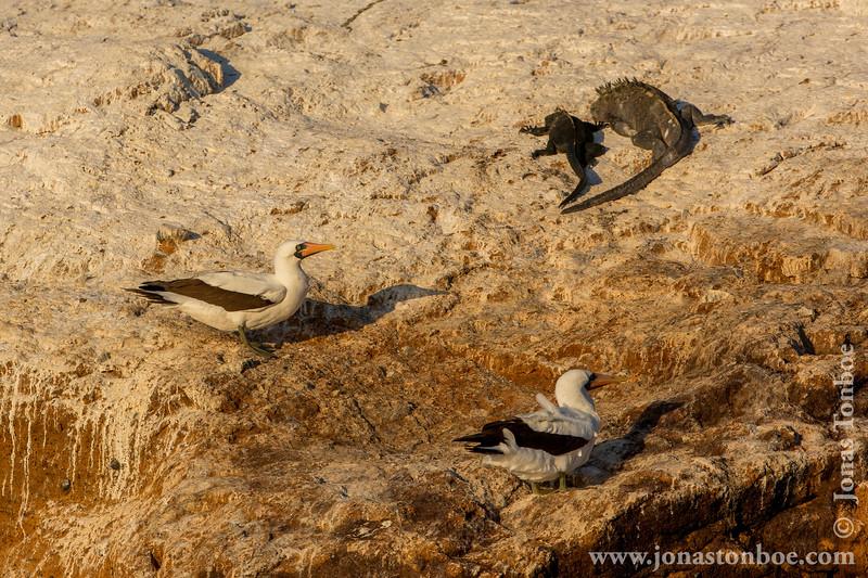Nazca Booby and Marine Iguana, Isabela Sub-species