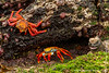 Marine Iguana, Santa Cruz Sub-species, and Sally Lightfoot Crab
