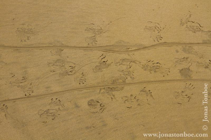 Marina Iguana, Isabela Sub-species, Tracks in the Sand