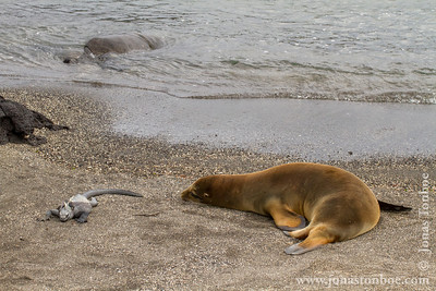 Fernandina island. Espinoza Point: Galapagos Sea Lion (Zalophus wollebacki), Green Sea Turtle (Chelonia mydas agassissi) and Marine Iguana, Fernandina sub-species (Amblyrhynchus cristatus cristatus)