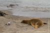 Galapagos Sea Lion, Green Sea Turtle and Marine Iguana, Fernandina Sub-species