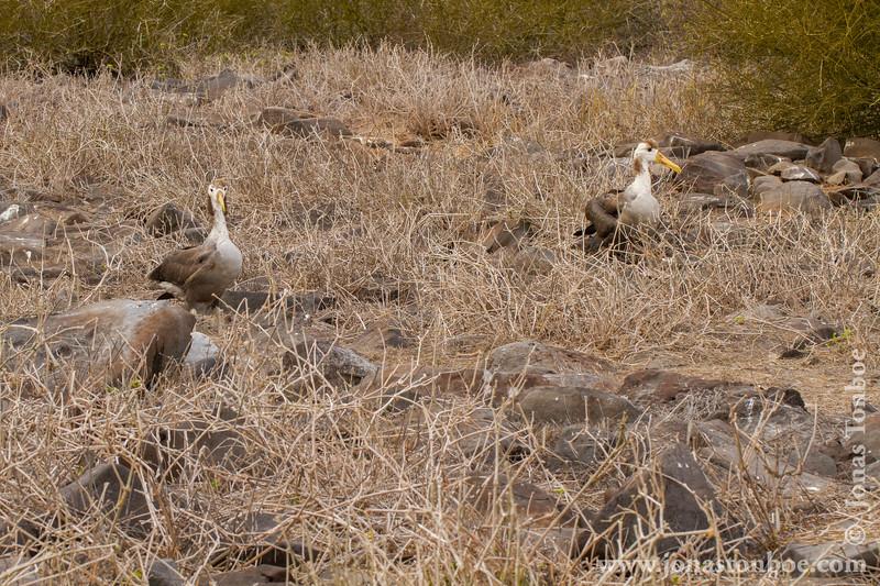 Juvenile Waved Albatross
