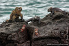 Marine Iguana, Isabela Sub-species, and Sally Lightfoot Crab