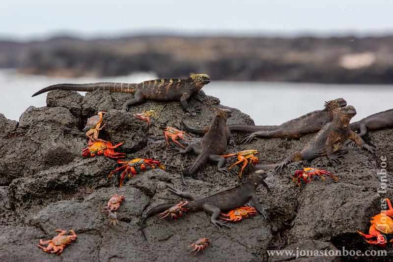 Marine Iguana, Santiago Sub-species, and Sally Lightfoot Crab
