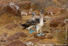Blue-footed Booby Mating Dance