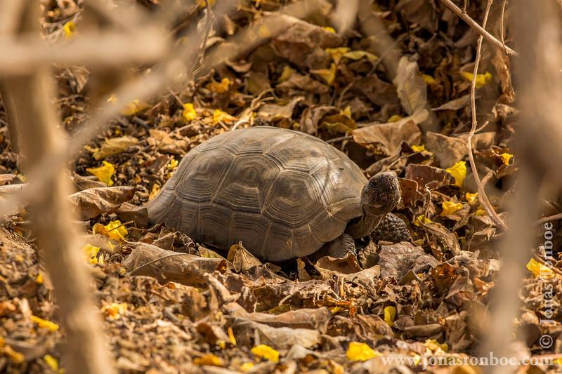 Galapagos Giant Tortoise, Alcedo Sub-species