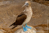 Espanola island. Suarez Point: Blue-footed Booby (Sula nebouxii)