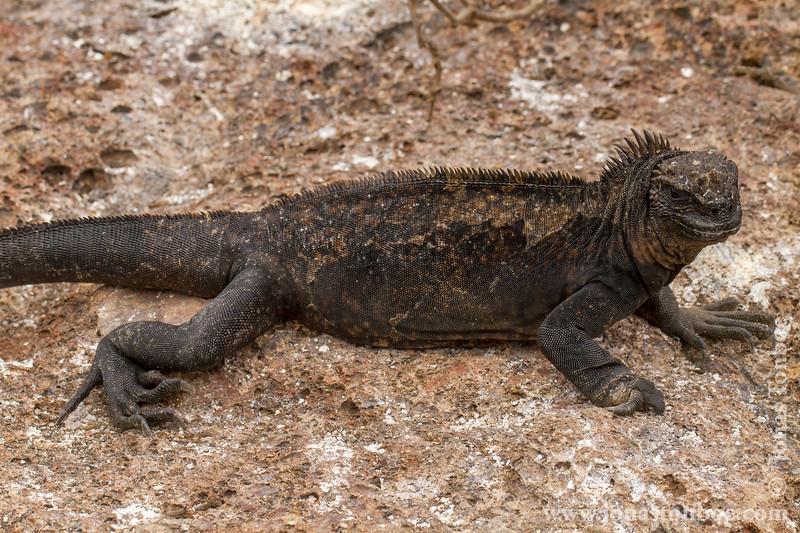 Marine Iguana, Genovesa Sub-species
