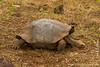 Galapagos Giant Tortoise, San Cristobal Sub-species