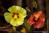 Galapagos Cotton Flowers
