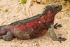 Marine Iguana, Espanola Sub-species