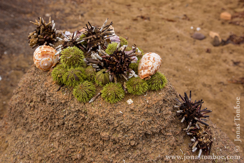 Green Sea Urchin and Pencil-spined Urchin