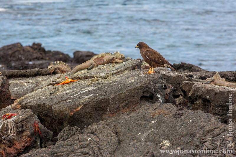Marine Iguana, Santiago Sub-species, Galapagos Hawk and Sally Lightfoot Crab