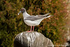 Plazas islands. Swallow-tailed Gull (Larus furcatus)