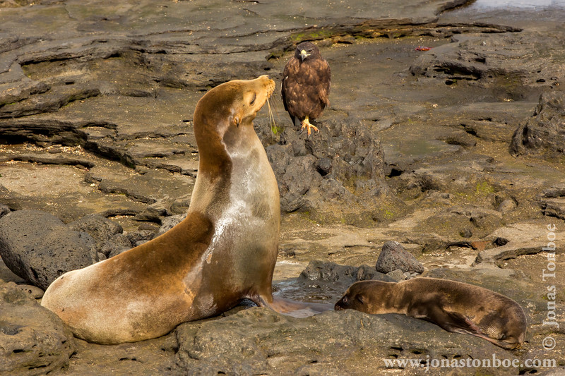 Galapagos Sea Lion and Galapagos Hawk