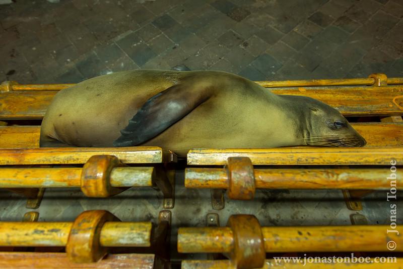 Galapagos Sea Lion Invasion of Town