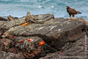 Marine Iguana, Santiago Sub-species, Galapagos Hawk and Sally Lightfoot Crab
