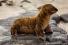 Galapagos Sea Lion Cub