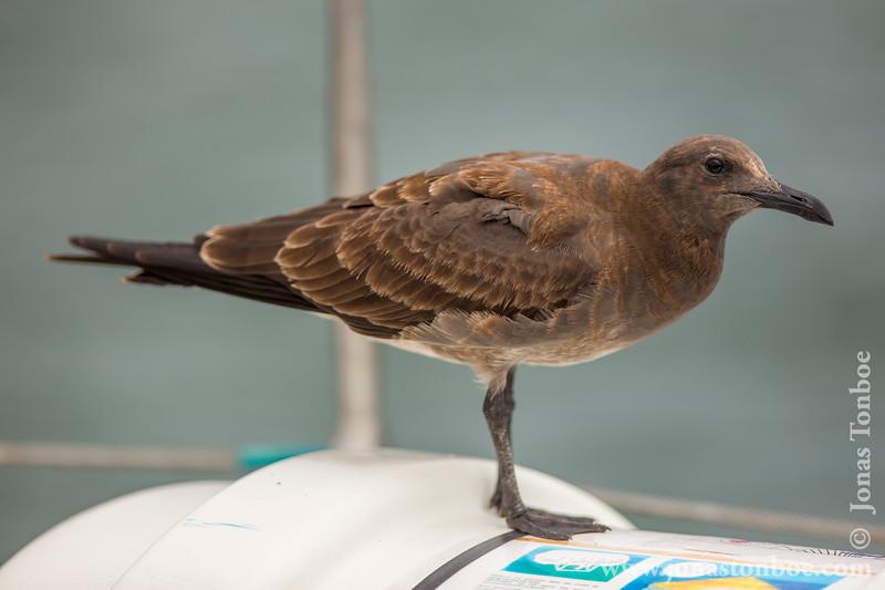 Juvenile Lava Gull