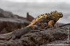 Marine Iguana, Santiago Sub-species