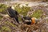 Juvenile Frigatebirds