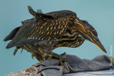Santa Fe island. Striated Heron (Butorides striatus)Winner 2013 Naturetrek Photography Competition: Gallery of the YearCompetition Gallery at Flickr