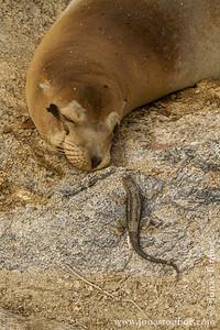 Fernandina island. Espinoza Point: Galapagos Sea Lion (Zalophus wollebacki) and Lava Lizard (Microlophus albemarlensis)