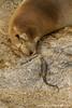 Galapagos Sea Lion and Lava Lizard