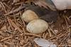 Nazca Booby Eggs
