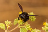 Galapagos Carpenter Bee
