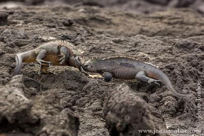 Fernandina island. Espinoza Point: Marine Iguana, Fernandina sub-species (Amblyrhynchus cristatus cristatus) fighting