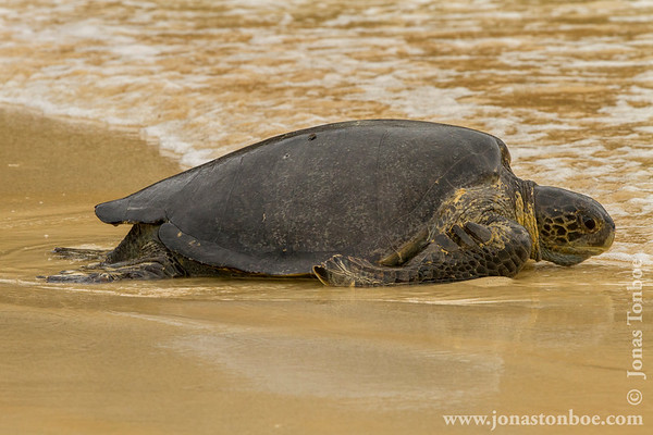 Floreana Island. Cormorant Point: Green Sea Turtle (Chelonia mydas agassissi)