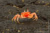 Ghost Crab