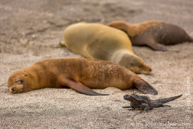 Marine Iguana, Fernandina Sub-species and Galapagos Sea Lion