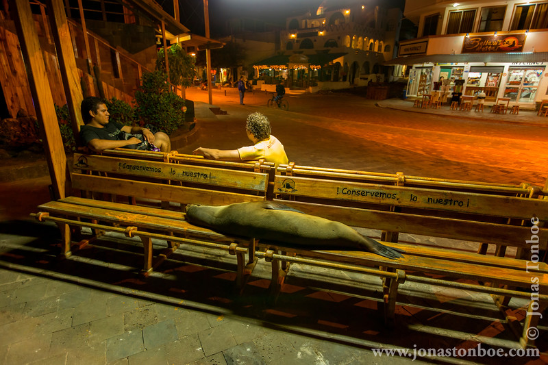 Galapagos Sea Lion Invasion of Town