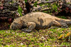 Marine Iguana, Santa Cruz Sub-species