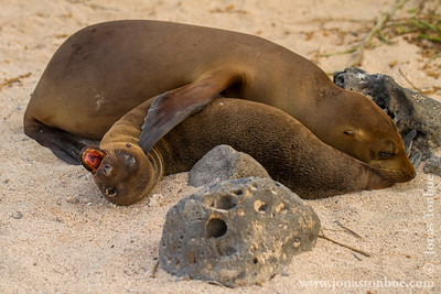 Ecuador. Galapagos Islands. North Seymour island: Galapagos Sea Lion (Zalophus wollebacki)