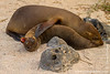 North Seymour island: Galapagos Sea Lion (Zalophus wollebacki)
