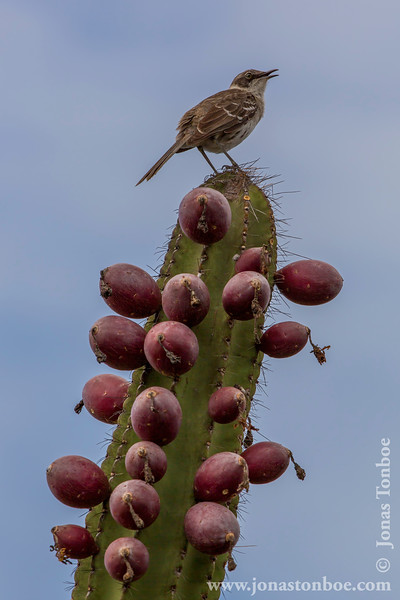 Galapagos Mockingbird Sitting on a Candelabra Cactus