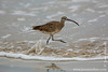 Isabela island. Around Puerto Villamil: Whimbrel (Numenius phaeopus)