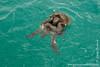 Green Sea Turtles Mating