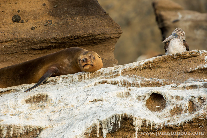 Galapagos Sea Lion and Blue-footed Booby