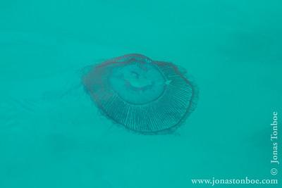 Santa Fe island: Jellyfish