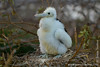 Magnificent Frigatebird Chick