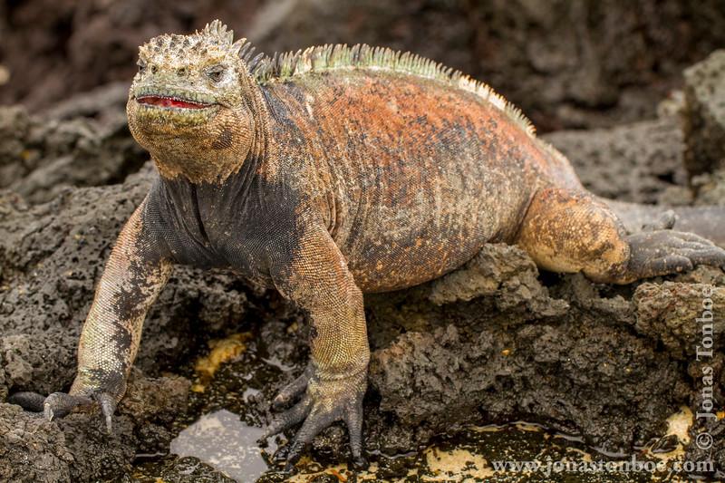 Marina Iguana, San Cristobal Sub-species