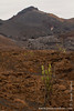 Candelabra Cactus