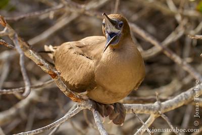 Genovesa island. Darwin Bay: Juvenile Red-footed Booby (Sula sula)