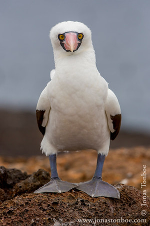Genovesa island. El Barranco: Nazca Booby (Sula granti)Winner 2013 Naturetrek Photography Competition: Gallery of the YearCompetition Gallery at Flickr